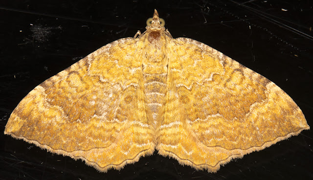 Yellow Shell, Camptogramma bilineata.  In my garden light trap on 23 August 2015.