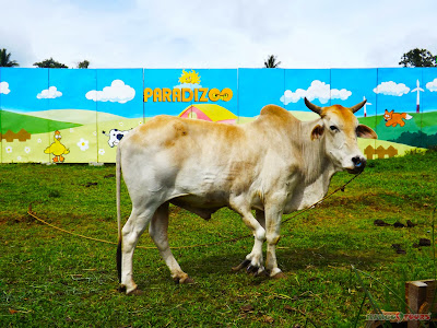 Mango Tours Tagaytay Paradizoo Five-legged cow