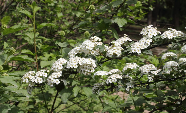 Bridal Wreath Flowers