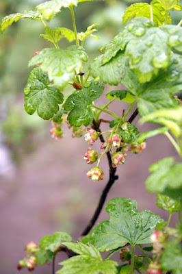 viinimarja kukkii