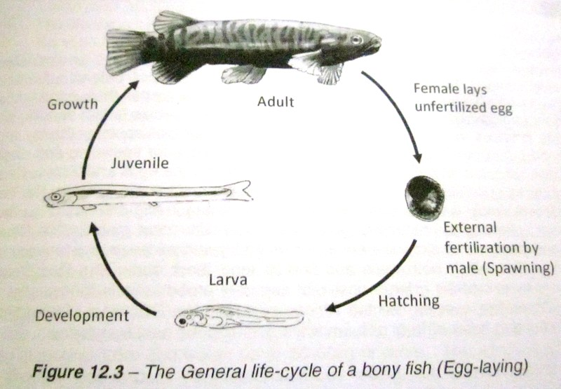 Beauty of nature what is a fish for Fish life cycle
