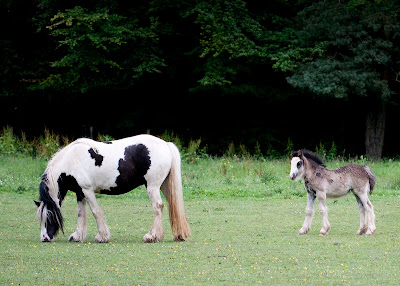 Horse and foal near Downe.  Orpington Field Club outing to Orchis Bank, Downe.  Taken with EOS 450D and 100mm macro lens.  25 June 2011.