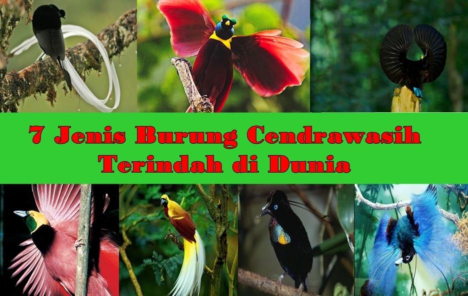 Jenis Burung Cendrawasih Terindah Di Dunia