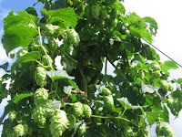 Hop Rhizomes and Plants for sale