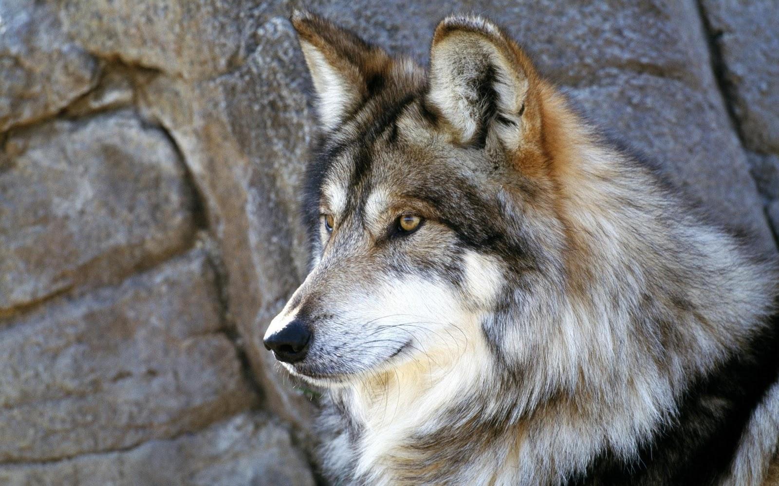http://1.bp.blogspot.com/-ErY6OBmVMUc/T2A7M_v7TgI/AAAAAAAACp0/RQT4eO3RkwQ/s1600/Wolf+Full+HD+Wallpapers+2.jpg
