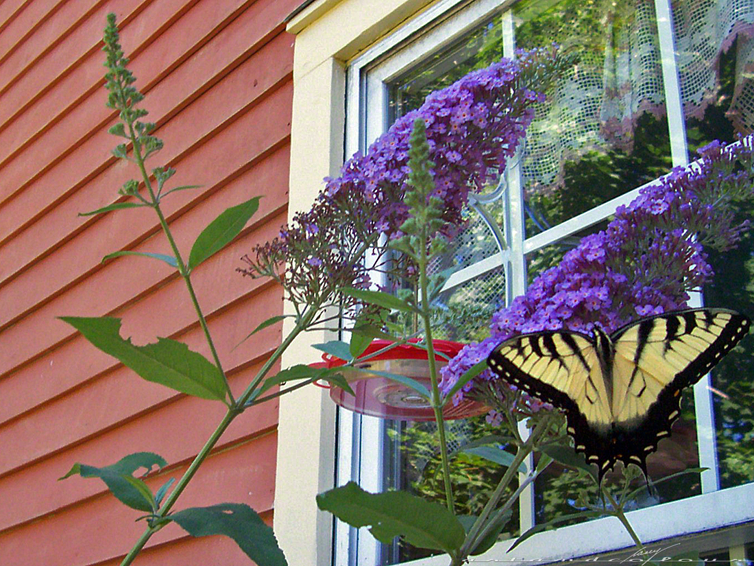 The Swallowtail Butterflies Are Back At Pink Gardens This Summer. This Is A  Gorgeous Example Of A Tiger Swallowtail, And There Is A More Elusive, ...