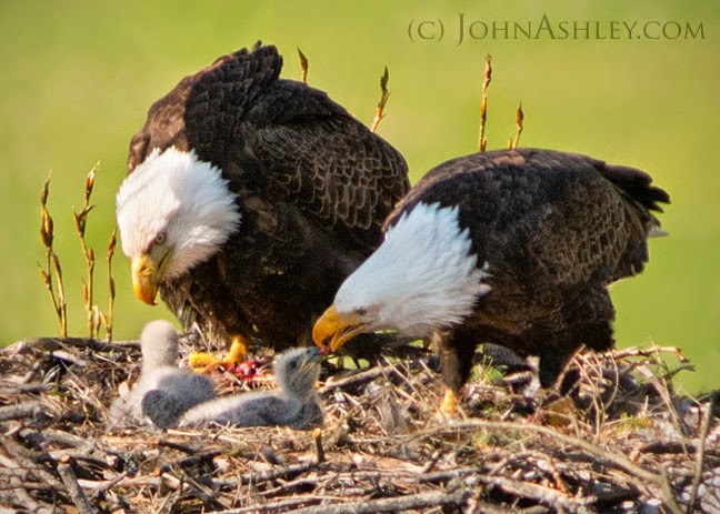 Bald Eagles feeding two chicks (c) John Ashley