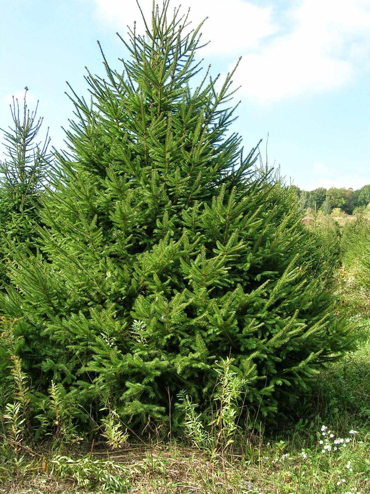 Mon arbre le de vivre le douaire tout savoir sur l 39 picea commun picea abies le sapin de - Sapin de noel nordmann ...