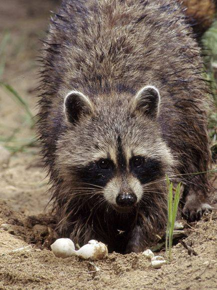raccoons- raccoons-Foods- raccoons-lifestyle-Funny-animals-Dangerous Animals Pics