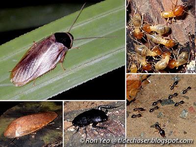 Cockroaches & Termites (Order Blattodea)