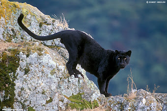 MACAN TUTUL HITAM/KUMBANG (black panthera pardus melas)