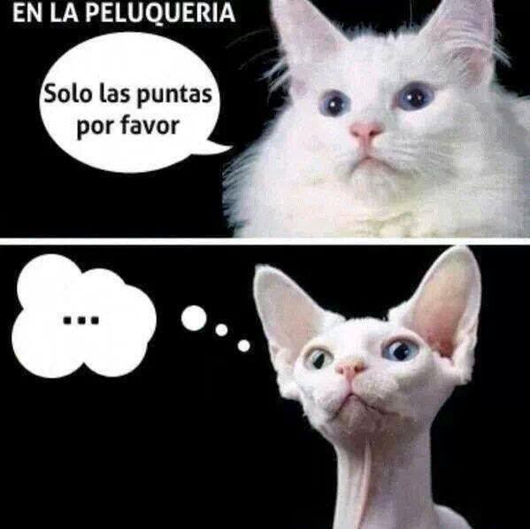 imágenes graciosas - un gato en la peluqueria: 'Solo las puntas, por favor'