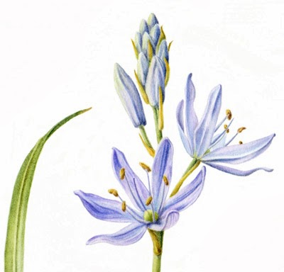 Camassia Quamash Drawing Detail of Camas Painting