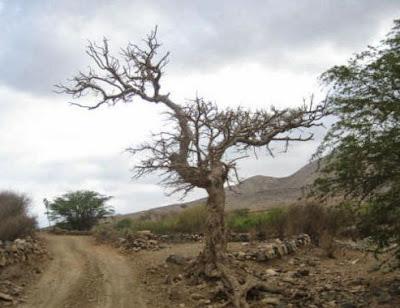 figueira seca | Curiosidades da Bíblia