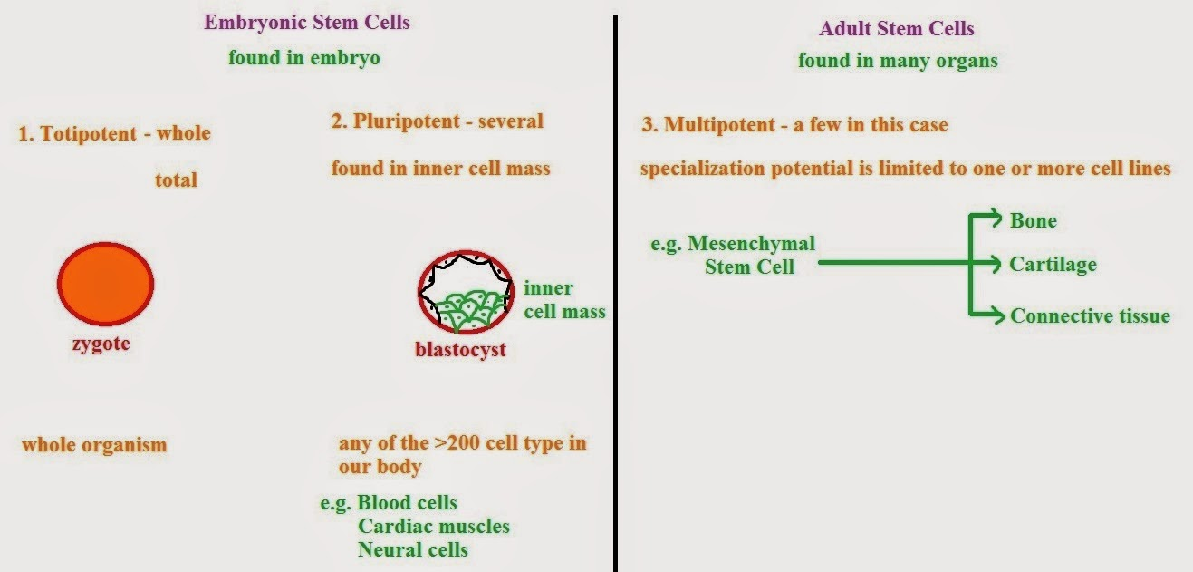 Pluripotent Stem Cells 101 Boston Childrens Hospital