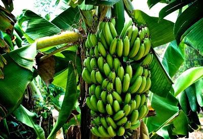 cara budidaya pisang