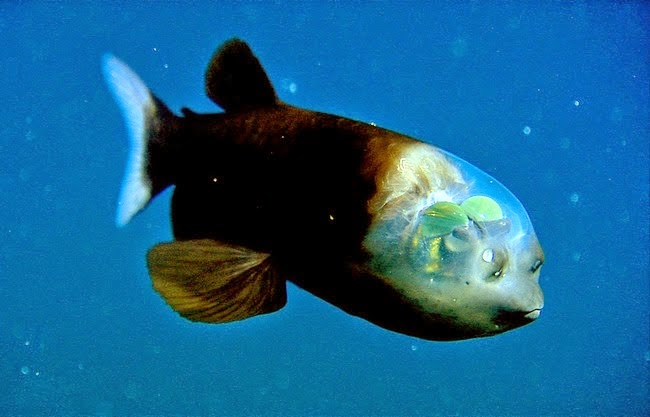 Pacific barreleye, one of the weirdest fish in the world
