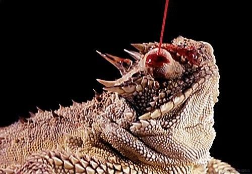 Conheça o Lagarto-de-chifre que espirra sangue