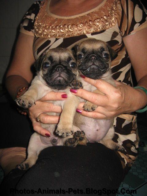 Mini pug dog