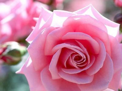 Talism n de la suerte las flores y sus cualidades - Fotos de rosas de colores ...