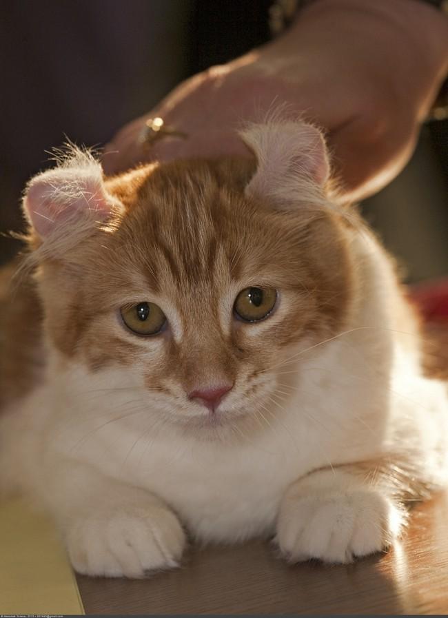 Healthiana American Curl Cats