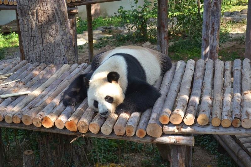 Zoo chiang Mai, panda