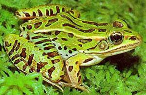 Animals & Pets: Aquatic Frogs,