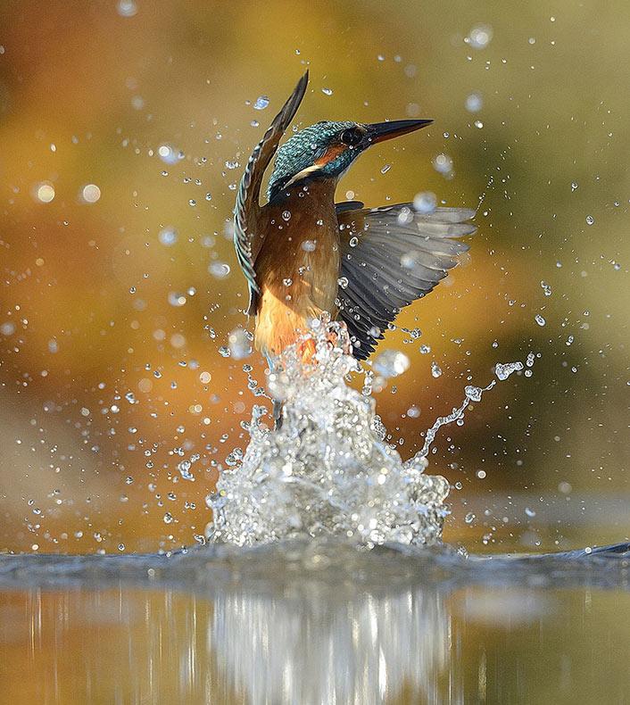 Después de 6 años y 720.000 intentos, fotógrafo toma finalmente la foto perfecta del Martín pescador