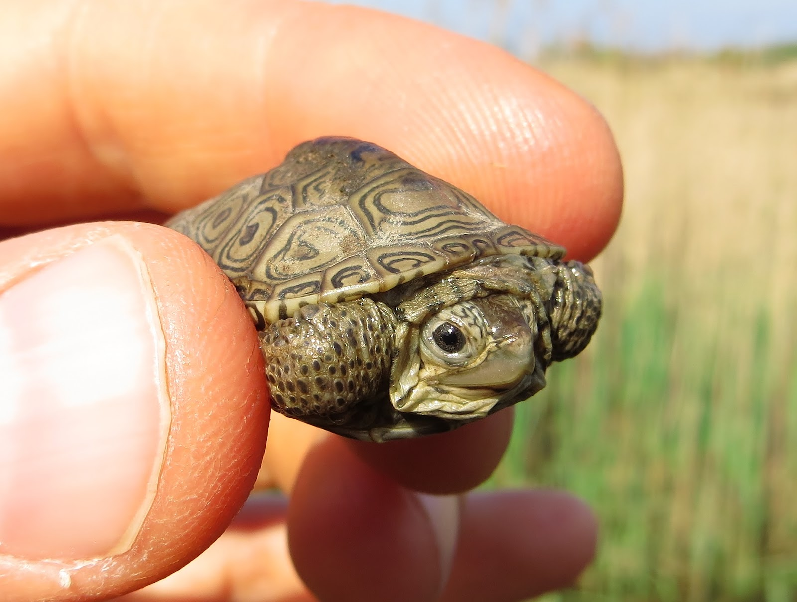 Baby Terrapins First Days in New York Harbor