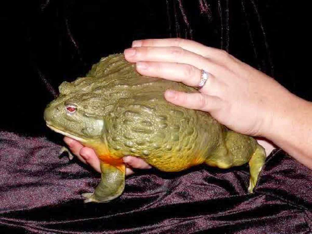 kata raksasa african bullfrog