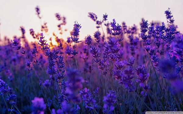 hình nền cánh đồng hoa tuyệt đẹp
