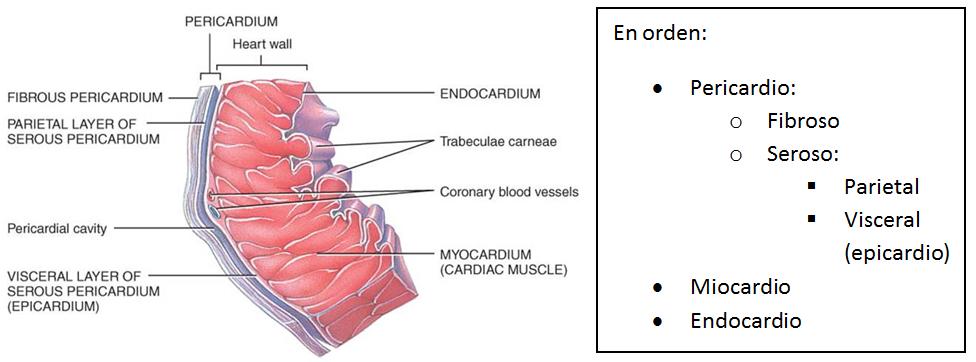 Anatomía interna   Todo cardio