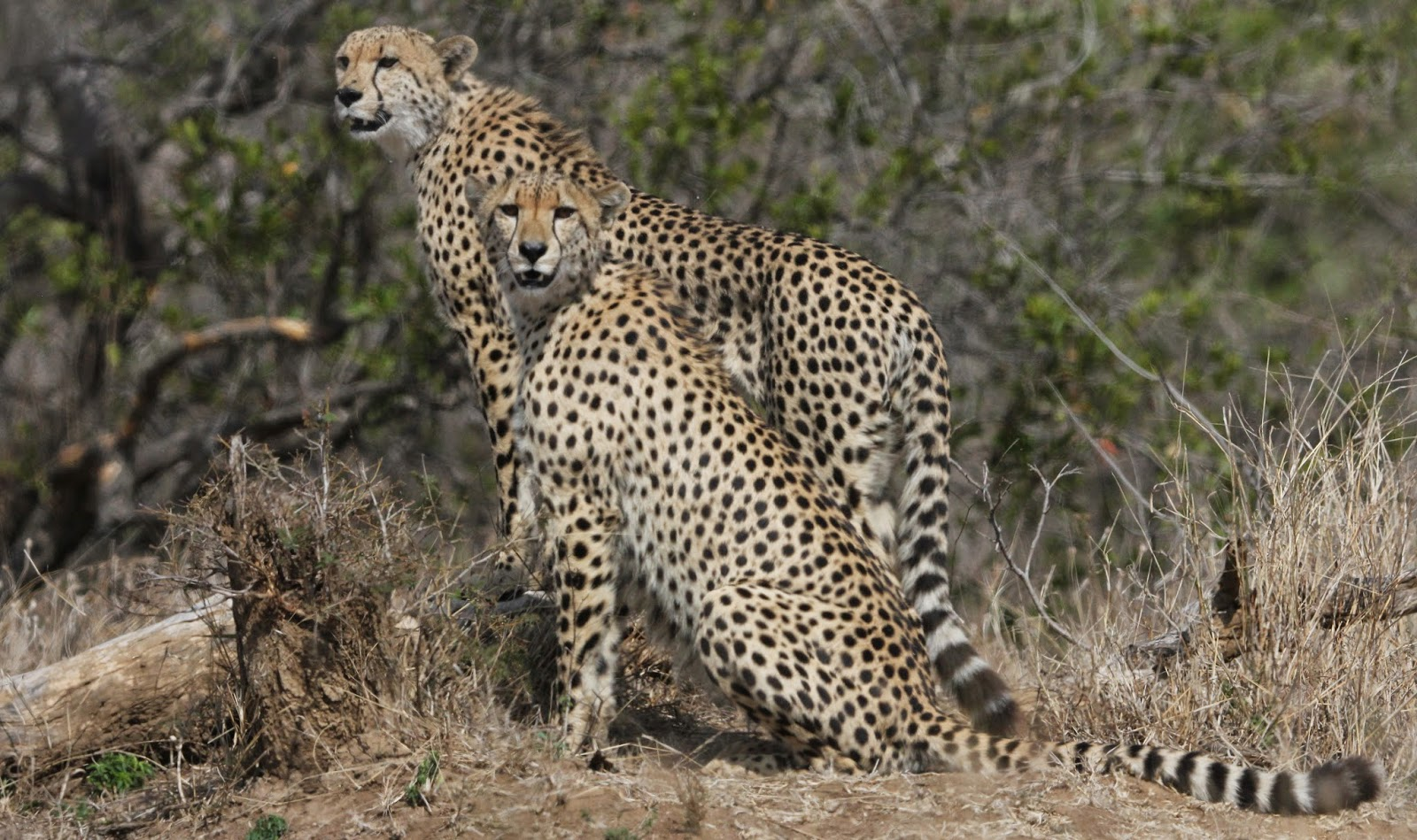 about cheetahs essay Cheetahs essaythe cheetah i'm going to talk to you about the cheetah, where it lives, how it hunts, how the grass helps the.