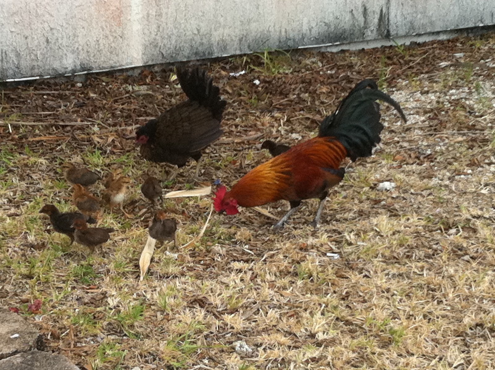 sarasota cluck why the feral chickens of key west are an