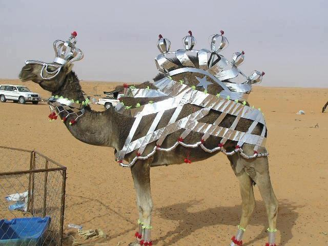 funny animal pictures, camel queen