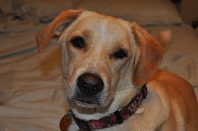 Yellow Labrador Border Collie Mix Collie labrador retriever mix.