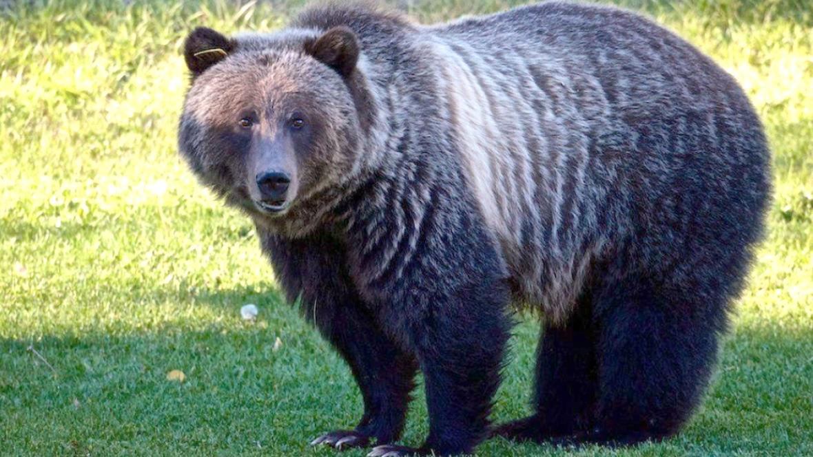 Rip Bear 148