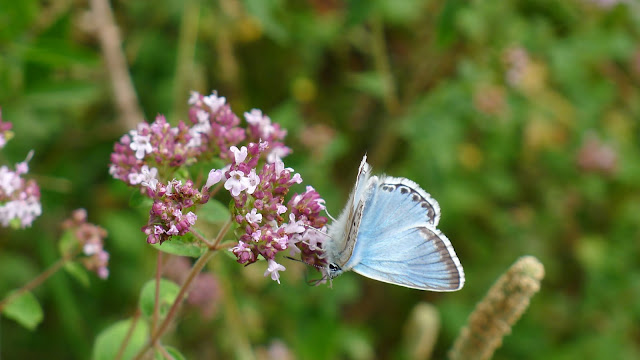 An exquisite Chalkhill Blue feeding