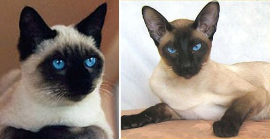 Blog Keluarga Dandy Jenis Jenis Ras Kucing