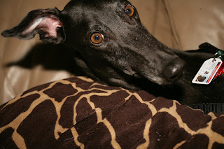 Bettina greyhound hears a noise