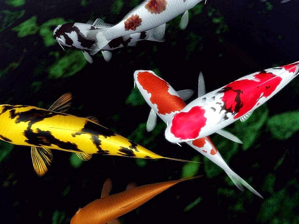 Jual ikan hias koi di bali manfaat spirulina untuk ikan for Koi 1 utama