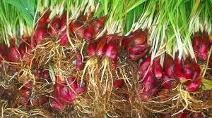 Jual Bawang Dayak Bawang Borneo