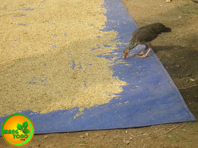 Kalau yang makan gabah ayamnya cuma satu dan kebetulan ayam punya sendiri ya dibiarkan saja ... hehehe