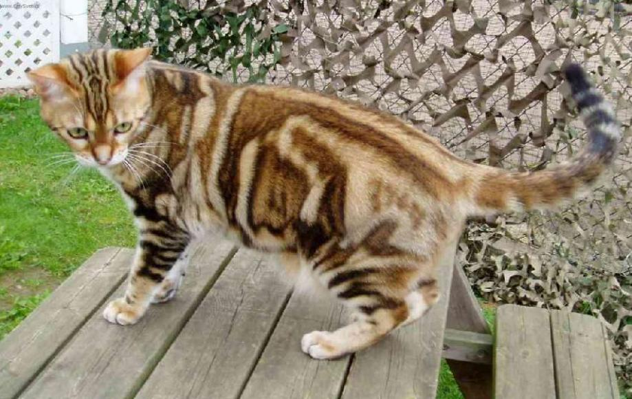 Cat Breeds Pictures and Information