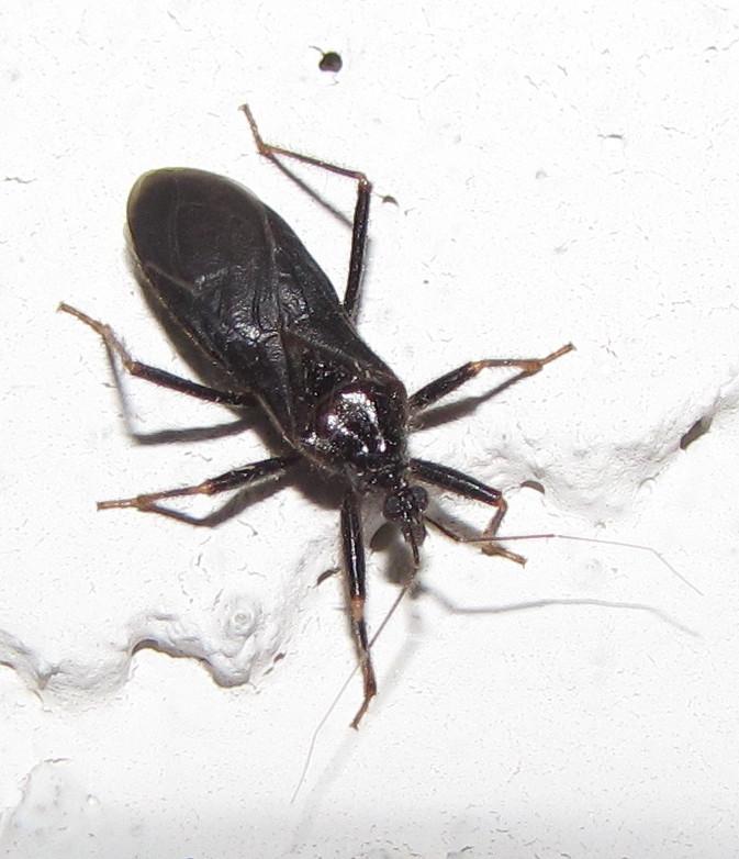 Bug Eric. Bug Eric  True Bug Tuesday  Masked Hunter