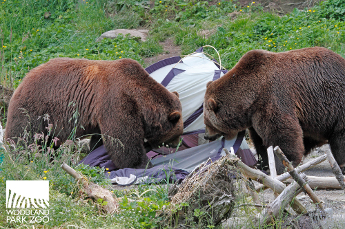 Keema and Denali dwarf a tent during the 2012 Bear Affair mock c&site. Photo by Dennis Dow/Woodland Park Zoo. & Woodland Park Zoo Blog: Bears want snacks