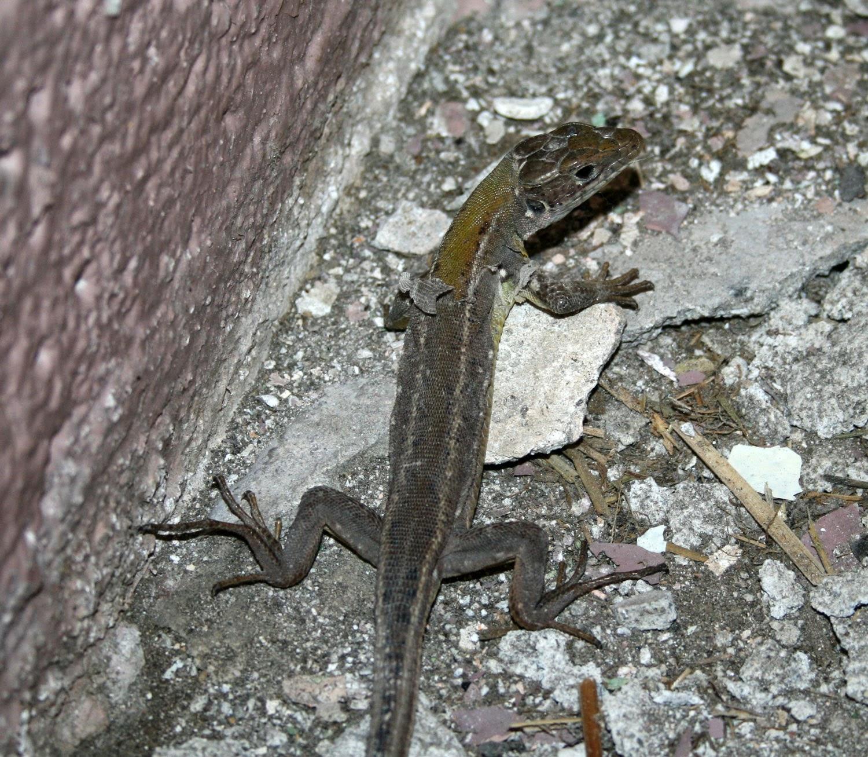 Shedding lizard
