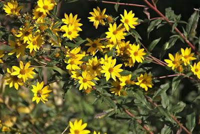 Helianthus occidentalis (Few-leaf Sunflower)