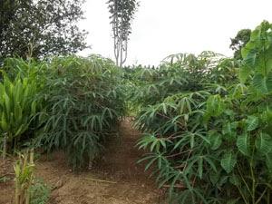 Folhas de mandioca