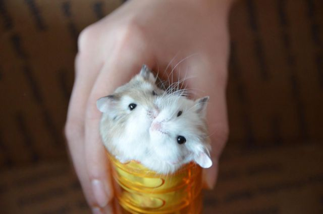 funny animals, two hamsters one cup